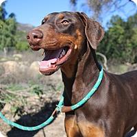 Adopt A Pet :: Rainey - Fillmore, CA