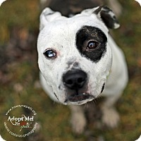 "American Pit Bull Terrier Mix Dog for adoption in Lyons, New York - Petunia (""Petey"")"
