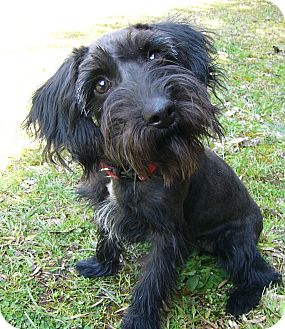 Scottie, Scottish Terrier/Poodle (Miniature) Mix Dog for adoption in Mocksville, North Carolina - Lilly
