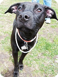Labrador Retriever/American Pit Bull Terrier Mix Puppy for adoption in Detroit, Michigan - Sparkle-Adopted!