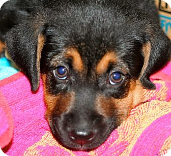 Black and Tan Coonhound/Hound (Unknown Type) Mix Puppy for adoption in Richmond, Virginia - Huckleberry