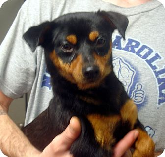 Miniature Pinscher/Pug Mix Dog for adoption in baltimore, Maryland - Lester