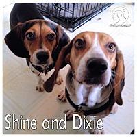 Adopt A Pet :: Shine - Novi, MI