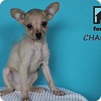 Adopt A Pet :: Chalula - Chicago, IL