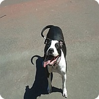 Adopt A Pet :: Bella, the cuddler - Sacramento, CA
