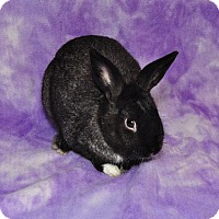 Dutch Mix for adoption in Chesterfield, Missouri - Coco Puff