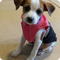 Adopt A Pet :: Courage - Scottsdale, AZ