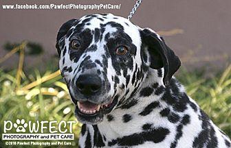 Dalmatian Dog for adoption in Gardena, California - Ruff