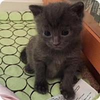 Adopt A Pet :: Violet - Herndon, VA