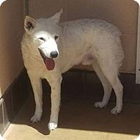 Adopt A Pet :: Brodie - Las Vegas, NV