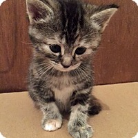 Adopt A Pet :: Bagheera - Troy, MI