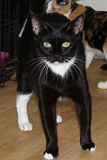 Domestic Shorthair Cat for adoption in Torrance, California - Mya