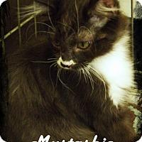 Adopt A Pet :: Mustashio - Anaheim Hills, CA
