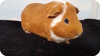 Guinea Pig for adoption in Aurora, Colorado - Franklin