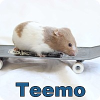 Adopt A Pet :: Teemo - Bradenton, FL