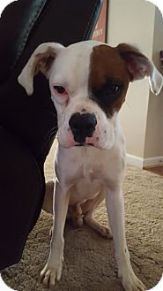 Boxer Dog for adoption in Wilmington, North Carolina - Petey
