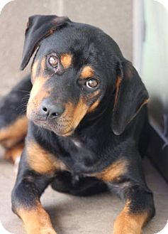 Rottweiler Dog for adoption in Washington, D.C. - Sloane (Has application)