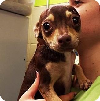 Chihuahua Mix Dog for adoption in Chalfont, Pennsylvania - Spice