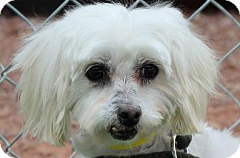 Maltese Dog for adoption in Colorado Springs, Colorado - Soda