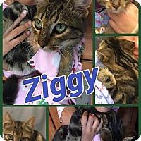 Adopt A Pet :: Ziggy - Ravenna, TX