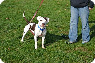 Pit Bull Terrier Mix Dog for adoption in Akron, Ohio - Willis