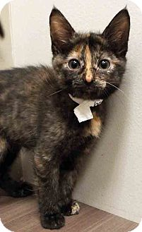 Domestic Shorthair Kitten for adoption in Shorewood, Illinois - ADOPTED!!!   Joan