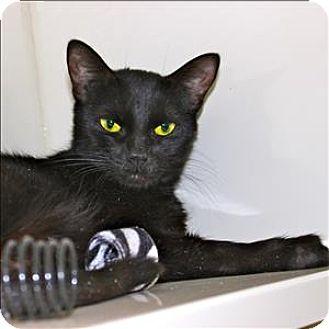Domestic Shorthair Cat for adoption in Duluth, Minnesota - Dragonfruit