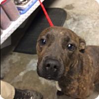 Adopt A Pet :: Callie - Paducah, KY