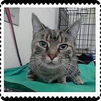 Domestic Shorthair Cat for adoption in Trevose, Pennsylvania - Chai
