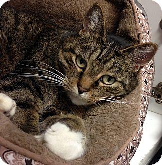 Domestic Shorthair Cat for adoption in Hendersonville, North Carolina - Socks