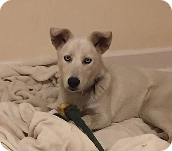 Husky Dog for adoption in Crystal Lake, Illinois - IceLea