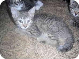 Domestic Shorthair Kitten for adoption in West Park, New York - Toil