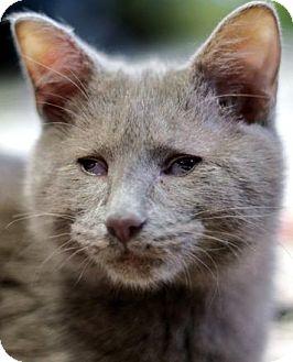 Domestic Shorthair Cat for adoption in Alexandria, Virginia - Allman
