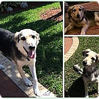 Adopt A Pet :: Lily - hollywood, FL