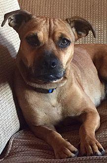 Beagle/Pug Mix Dog for adoption in Long Beach, California - Layla