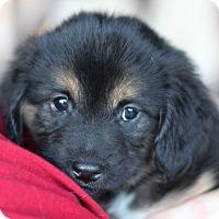 Adopt A Pet :: Cassie's Pup- Rolo - Romeoville, IL