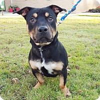 Adopt A Pet :: Loki - Marietta, GA