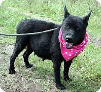 German Shepherd Dog/Labrador Retriever Mix Dog for adoption in Darlington, South Carolina - Suzie