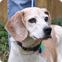 Beagle Mix Dog for adoption in Waldorf, Maryland - Vorena Hughes