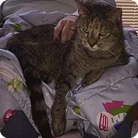 Domestic Shorthair Cat for adoption in Minneapolis, Minnesota - Juno