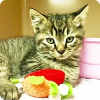 Adopt A Pet :: Prince of Purrsia - Lincolnton, NC