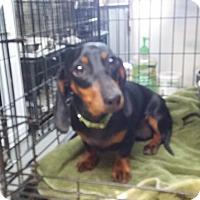 Adopt A Pet :: MOLLY - Lubbock, TX