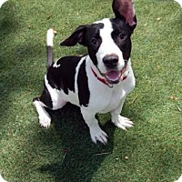 Adopt A Pet :: Bugzy - Bradenton, FL