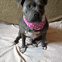 Pit Bull Terrier Mix Dog for adoption in Centerburg, Ohio - Gracie