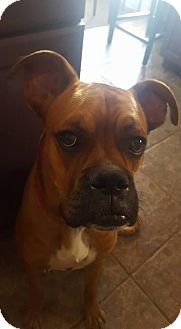 Boxer Dog for adoption in Phoenix, Arizona - Max - adopted
