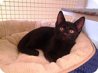 Domestic Shorthair Kitten for adoption in Richmond, Virginia - Twister