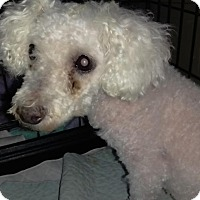 Poodle (Miniature)/Bichon Frise Mix Dog for adoption in Bernardston, Massachusetts - Peppa