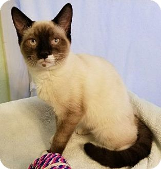 Snowshoe Kitten for adoption in Davis, California - Bentley