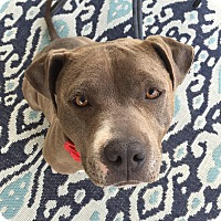 Pit Bull Terrier Mix Dog for adoption in Beverly Hills, California - Bug- Courtesy Post