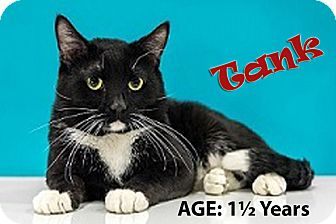 Domestic Shorthair Cat for adoption in Chandler, Arizona - Tank
